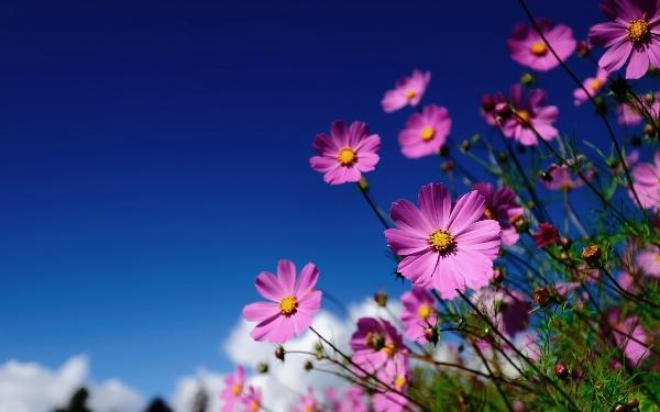 achtergrond-met-mooie-roze-bloemen-en-een-strak-blauwe-lucht