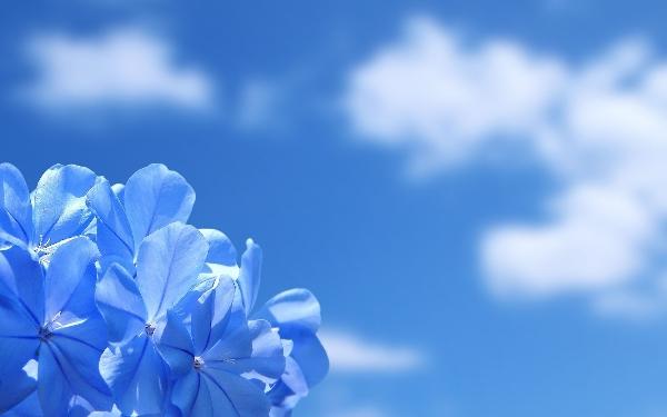 hd-bloemen-achtergrond-met-een-blauwe-bloem-en-de-blauwe-lucht-bloem-wallpaper
