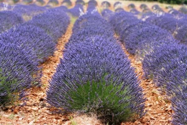 rhone_vallei_en_provence_lavendelvelden_in_frankrijk