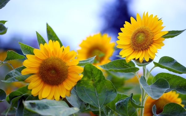 zomer-achtergrond-met-gele-zonnebloemen-hd-wallpaper